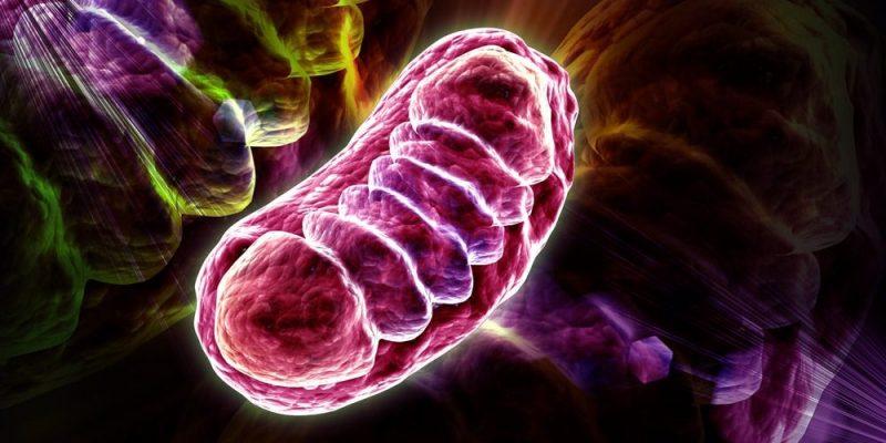 ¿Podrían las mitocondrias ser la clave para un cerebro sano?